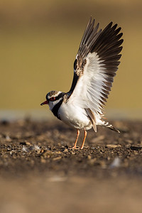Black-fronted Dotterel wingstretch