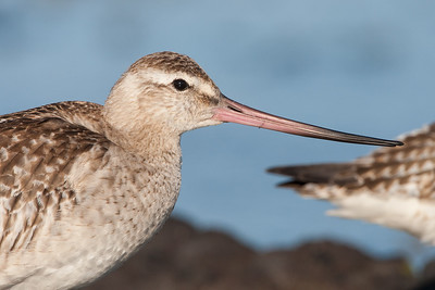 Godwit up close.