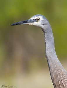 (Egretta novaehollandiae) - Burrill Lake, NSW