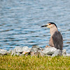 Black Capped Night Heron