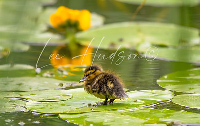 Mallard duckling on lily pad