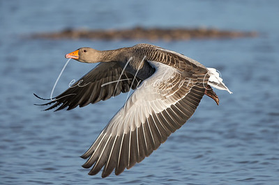 Greylag goose in flight (ref: GG01)
