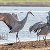 A Sandhill Crane tries to get the attention of another by using a stick to poke her.