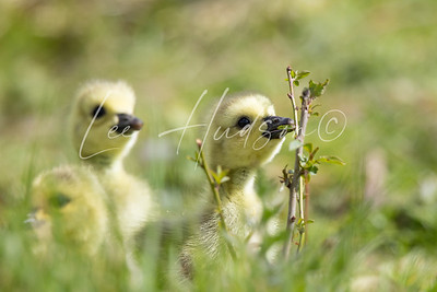 Goslings in spring