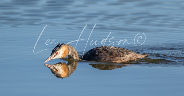 Juvenile great-crested grebe