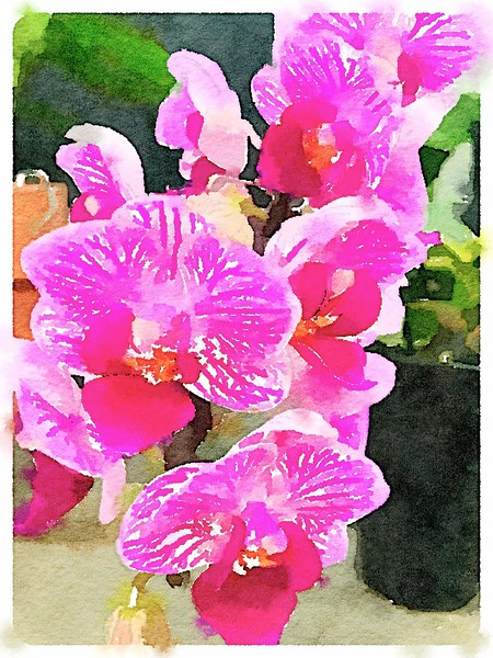 Watercolored Phalaenopsis - striated