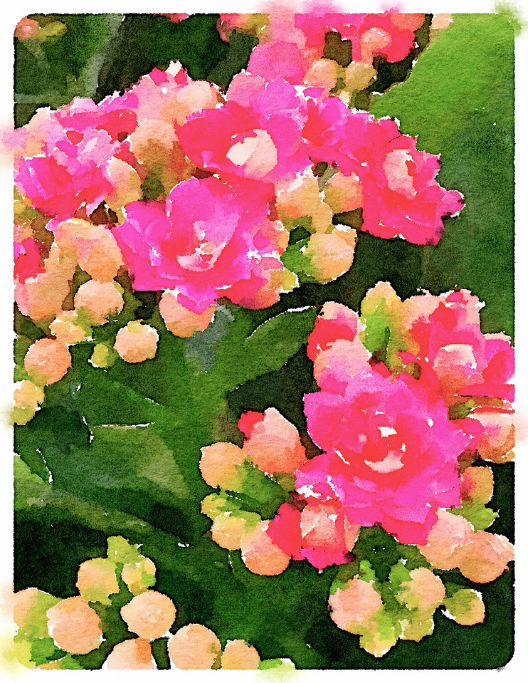 Watercolored Kalanchoes - magenta