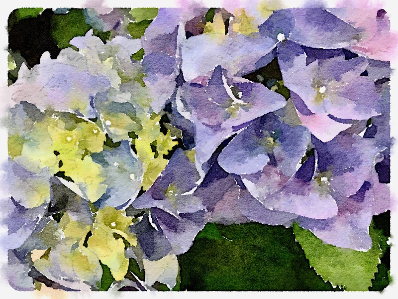 Watercolored, lavender & green Hydrangeas