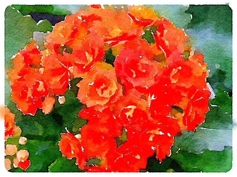 Watercolored Kalanchoes - orange