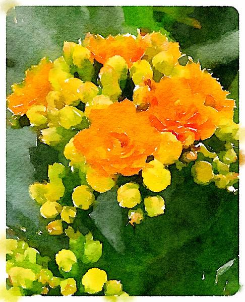 Watercolored Kalanchoes - Yellow