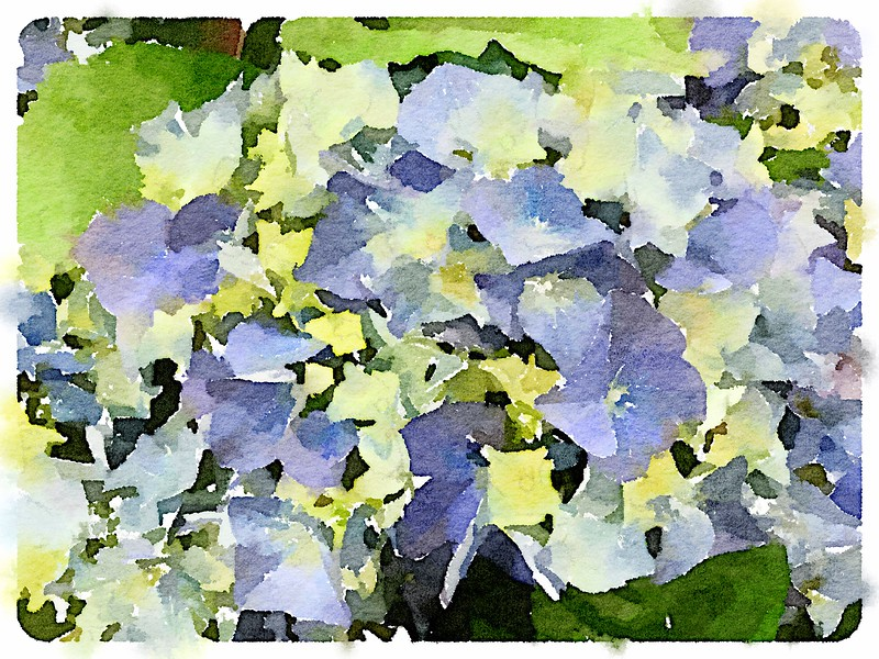 Watercolored bi-color Hydrangeas
