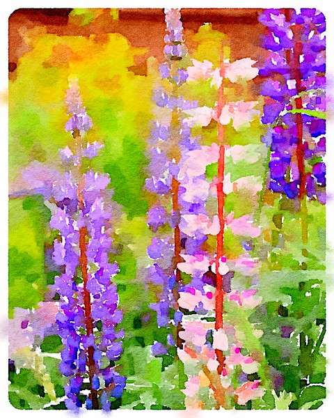 Watercolored Lupine