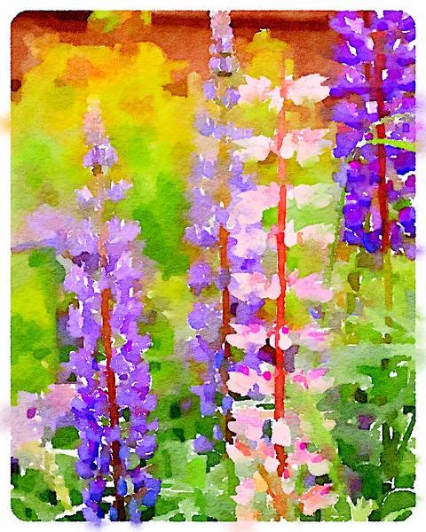 Watercolored Lupine