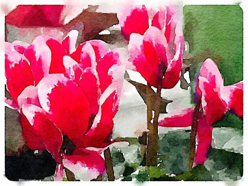 Watercolored Cyclamen