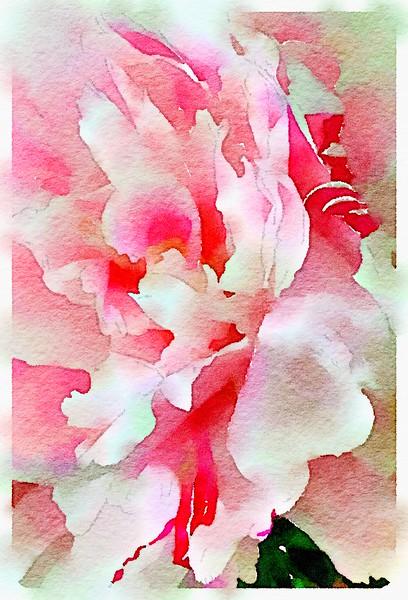 Watercolored Peony - Bold (pink & white)