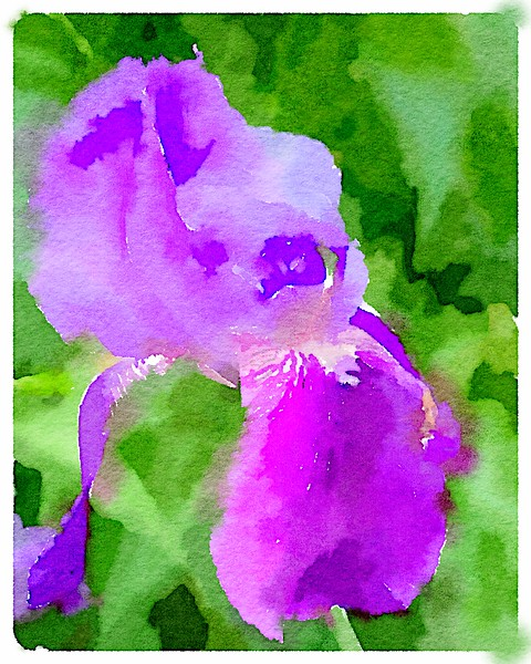 Watercolored purple Iris