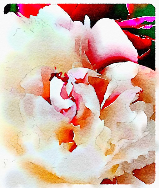 Watercolored Peony - white/red bold