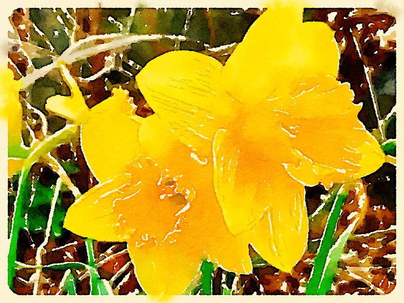 Watercolored Two Daffodils