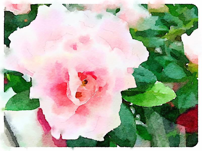 Watercolored pink & white Azalea