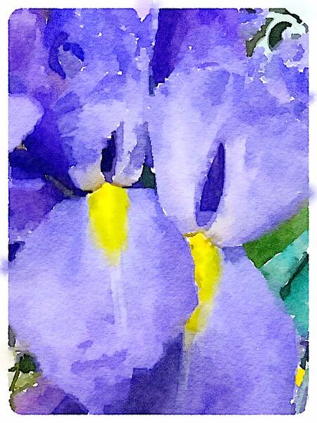 Watercolored Iris pair