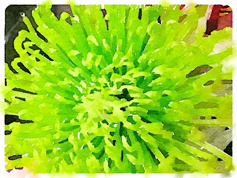 Watercolored Lime Chrysanthemum