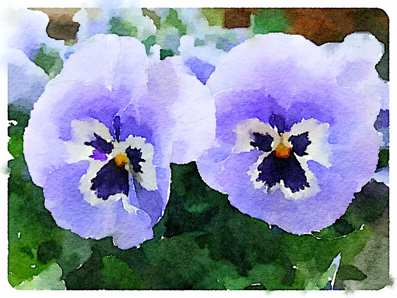Watercolored Purple Pansies