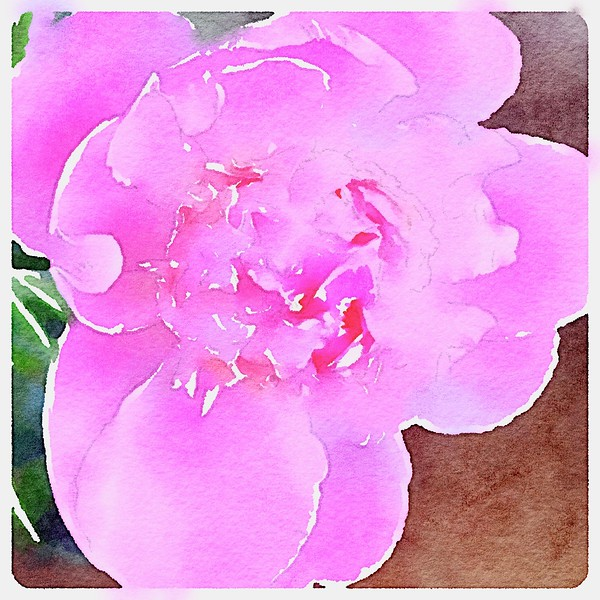 Watercolored single, pink Peony