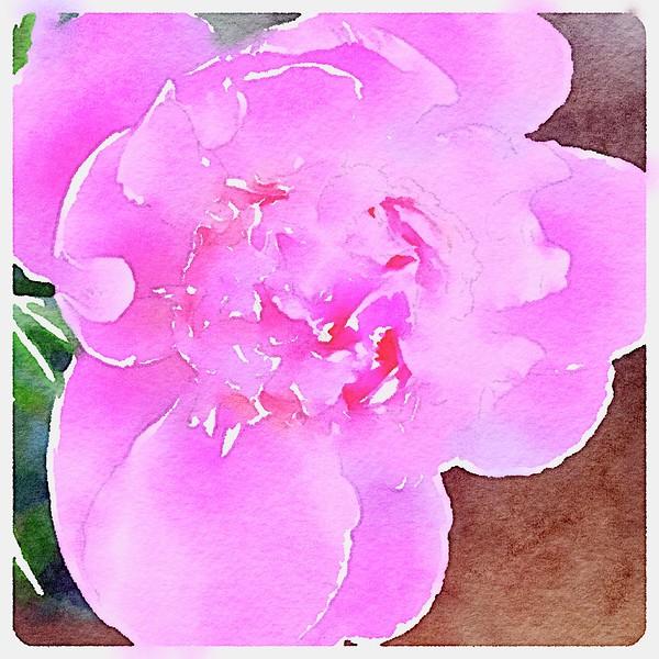 Watercolored single, pink Peony