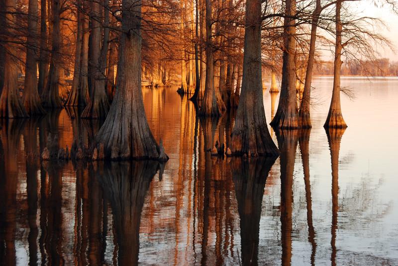 Bald Cypress tree reflection at Reelfoot Lake, TN