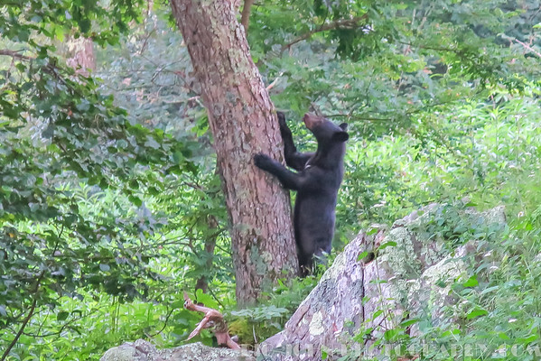 I actually saw 3 Bears but this was the only one I could get a quick pic.