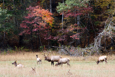 Elk Herd @ Cataloochee