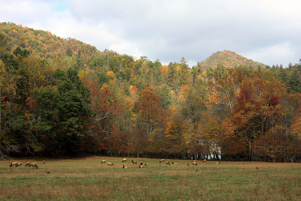 Elk in the Cataloochee valley