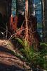 An ancient Western Red Cedar stump