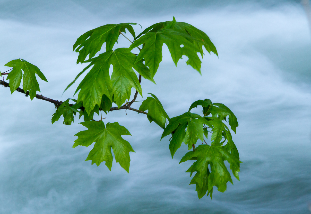 Maple Leaves Above Tamihi Creek