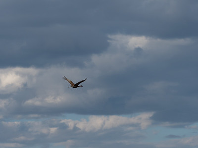 While I sas standing, looking around, a sandhill crane flew by.