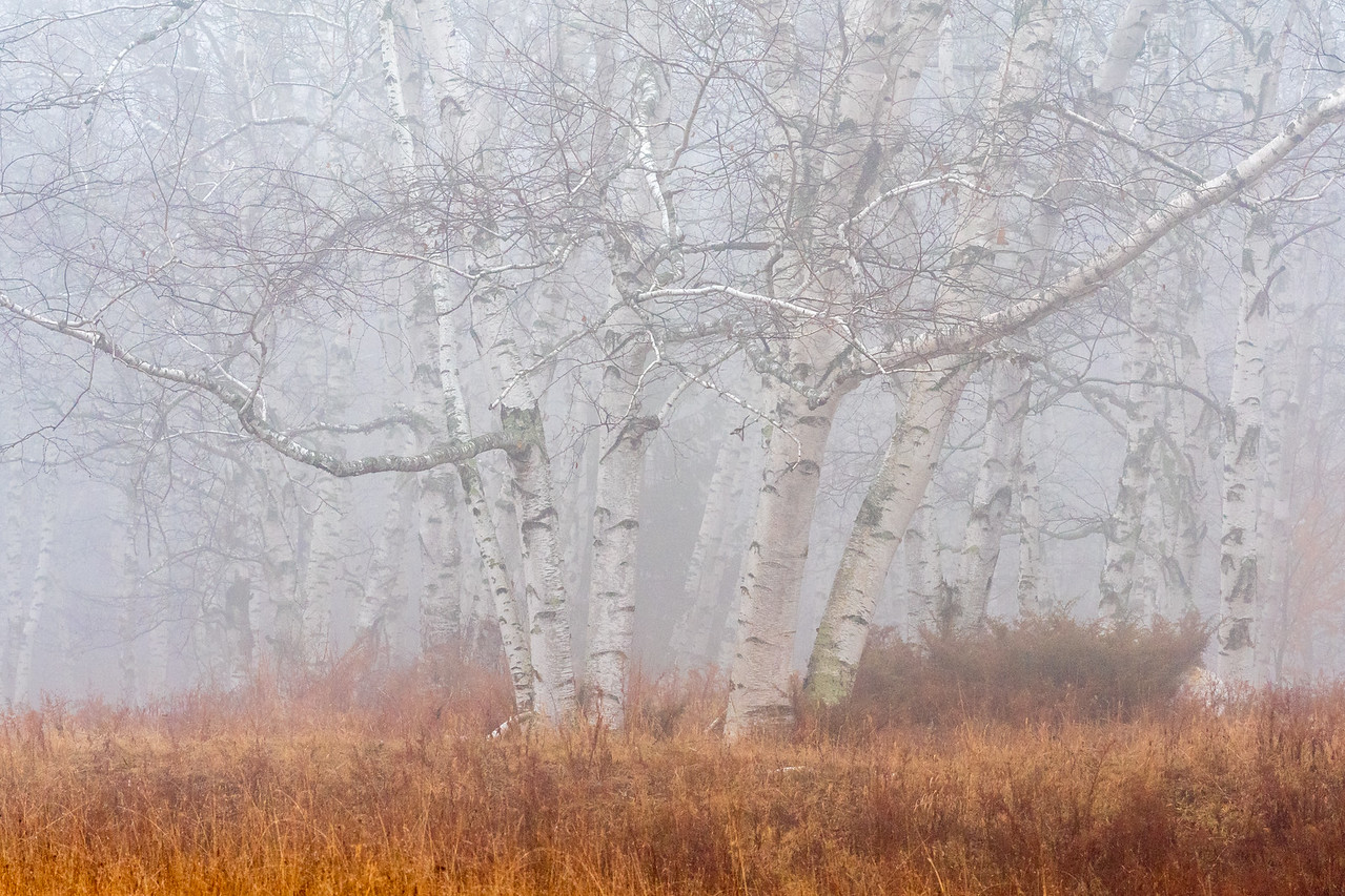 Misty Birches