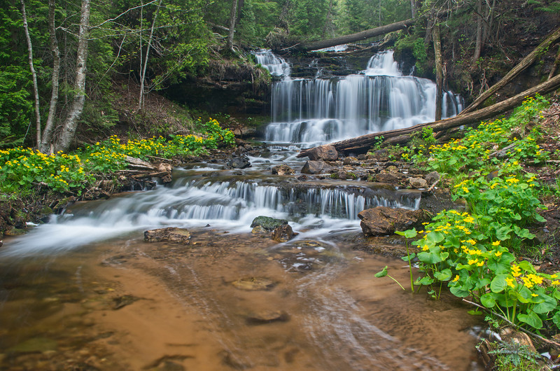 Marsh Marigolds in bloom at Wagner Falls just outside of Munising Michigan.