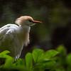 Cattle Egret.