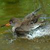 Redshank  Bathing.