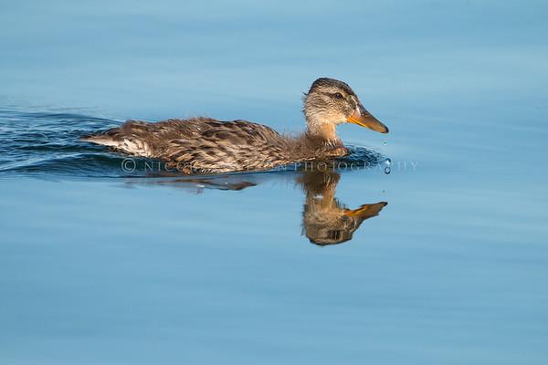 Young Mallard Duckling