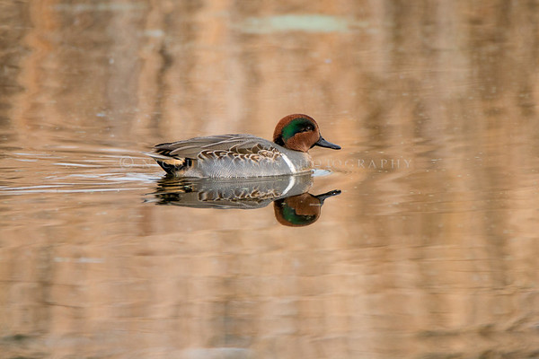 Green Winged Teal Duck  (male)