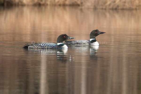 Common Loon mated pair -3