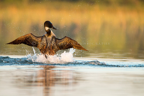 Common Loon Bravado - 1