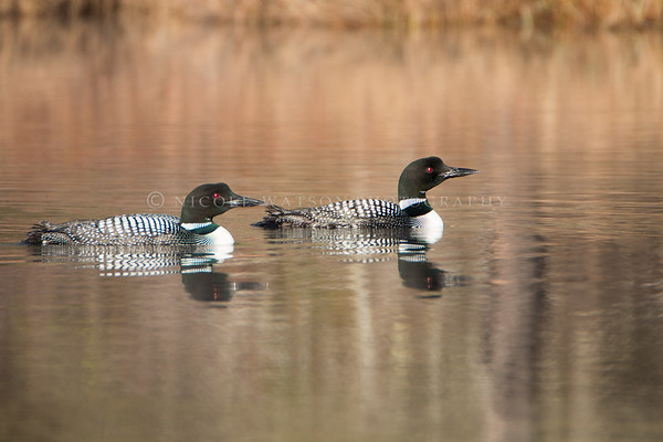 Common Loon mated pair -1