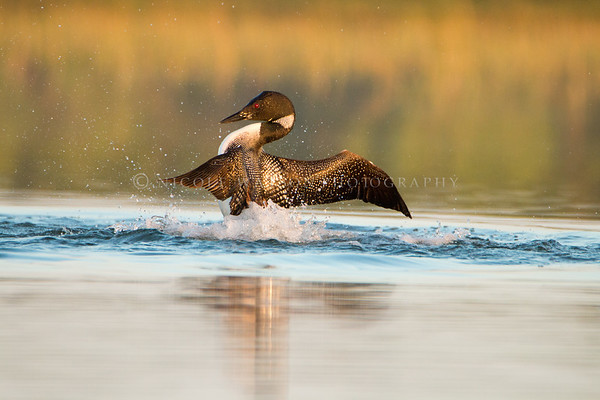 Common Loon Bravado  - 2