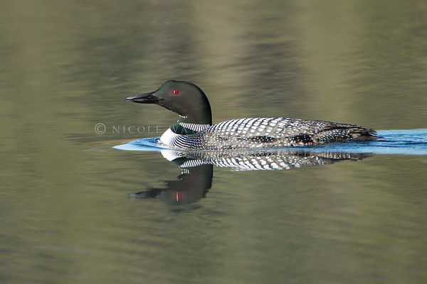 Common Loon  - 1a