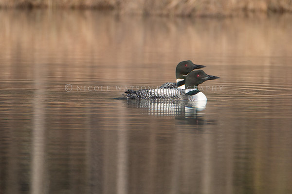 Common Loon mated pair -2
