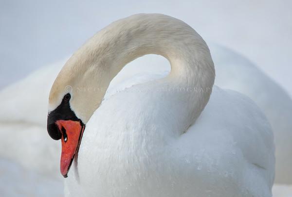 Mute Swan  -  img_1956