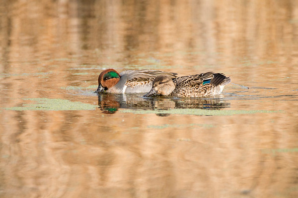 Green Winged Teal Ducks  - male and female