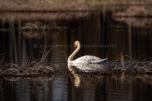 Mute Swan - 4574